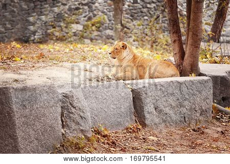 Lioness resting in zoological garden