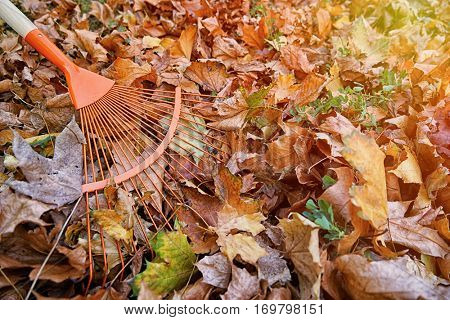 Gathering fallen leaves with fan rake, close up view