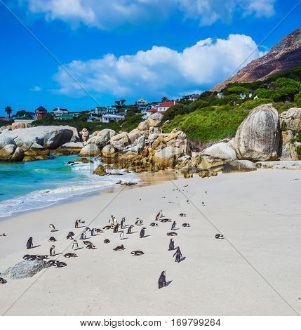 Boulders Penguin Colony in the Table Mountain National Park. African black-white penguins. The sandy beach on the Atlantic coast of Africa. The concept of  ecotourism