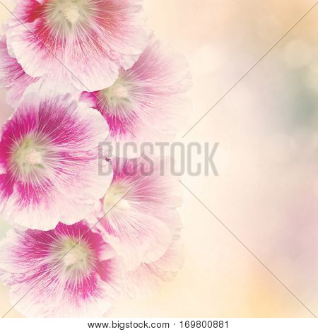 Pink Hollyhock Flowers for Background
