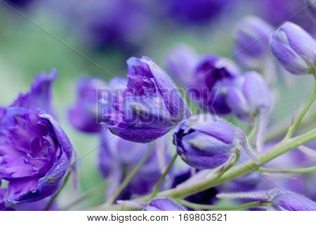 Purple Delphinium Ranunculaceae are stately and delicate flowers