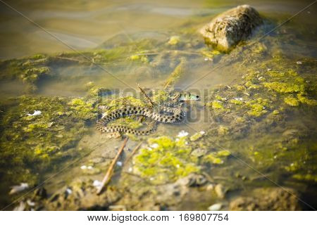 Snake in the water eating fish caught. perch