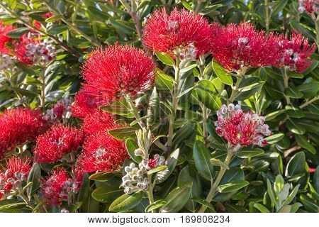 closeup of red Pohutukawa tree flowers and buds in bloom