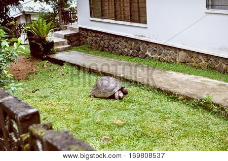 Exotic pet: а Seyshelles gigantic turtle in the courtyard crawl on grass