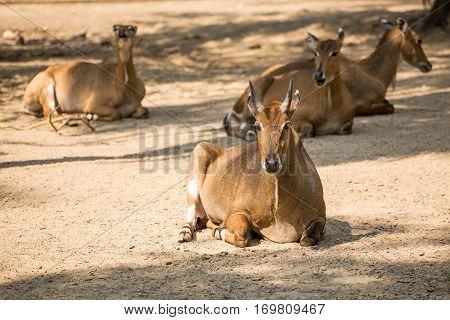 Brown Antelopes Herd Resting .