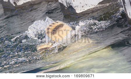 Close-up Of A Polarbear (icebear) Jumping In The Water