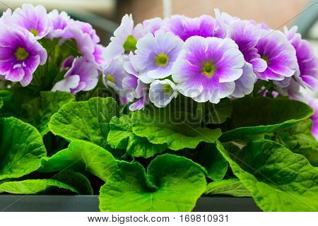 holiday or birthday background with beautiful closeup purple viola or pansy flowers