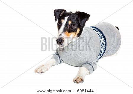 Fox terrier posing in studio on grey background. Terrier dressed in a gray suit small. isolated