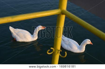 White Wild Geese