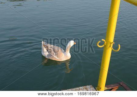 White Wild Goose