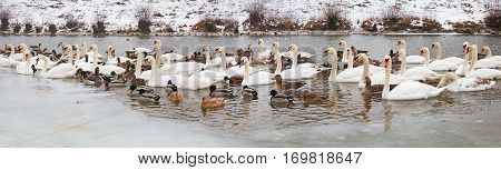 isar river munich in winter with lots of swans gooses and ducks