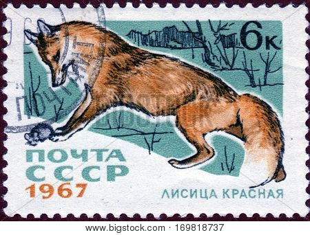 USSR - CIRCA 1967: Postage stamp with a picture of red fox (lat. Vulpes vulpes), from the series