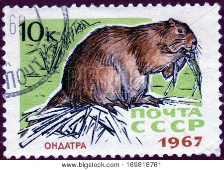 USSR - CIRCA 1967: Postage stamp with a picture of musquash (Lat. Ondatra zibethicus), from the series