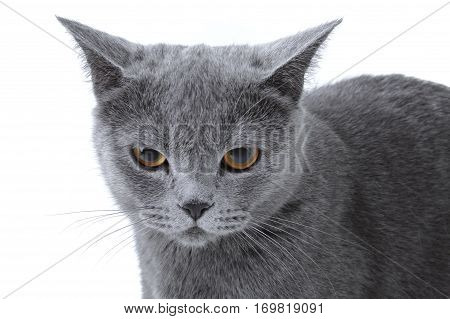 Gray frowning striped kitten on a white background