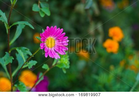 Pink variety of Aster flower in a summer garden against motley background (Shallow DOF)