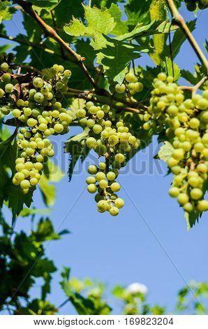 Photo picture of acinus unripe grape fresh green bunches poster