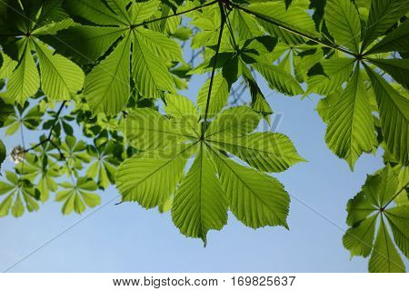 Spring leaves of chestnut tree Aesculus hippocastanum in front of blue sky
