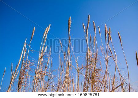 Tall thick grass earth against blue sky background.