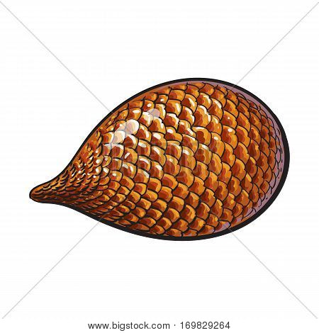 Whole unpeeled, uncut tropical salak, snake fruit in horizontal position, sketch style vector illustration isolated on white background. Realistic hand drawing of whole snake fruit, salak
