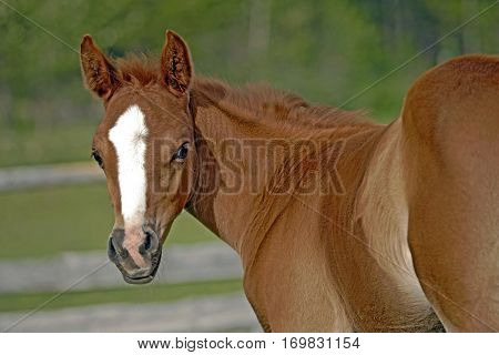 Close up of cute few week old chestnut Foal at pasture watching.