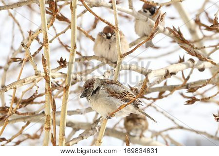 Group of sparrows sitting on a branch of a poplar at the end of winter