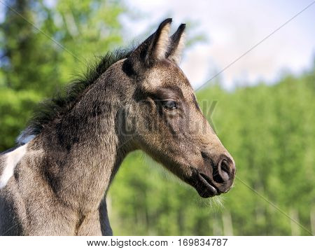 Portrait of cute Quarter Horse Foal standing in pasture.