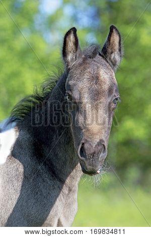 Headshot of cute Quarter Horse Foal few week old.