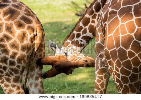 Giraffe With Her Head  Down