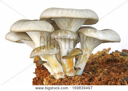 Oyster mushroom (Pleurotus ostreatus) young mushrooms growing on substrate isolated against white background