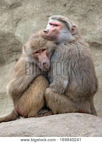 Monkeys in the wild on the rocks