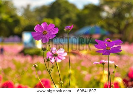 Close up beautiful cosmos in the garden cosmos flower in a bright sky day