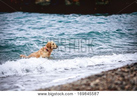 Golden dog sprinkle with drops of seawater on the beach