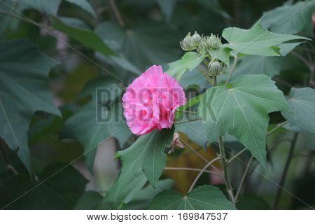 Pink Beautiful Flower, Hibiscus Mutabilis