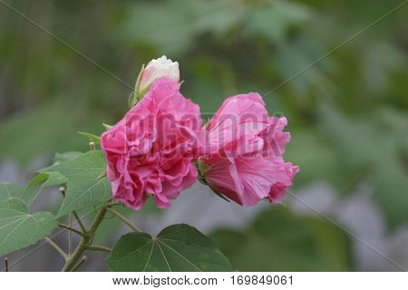Pink Beautiful Flower, Hibiscus Mutabilis
