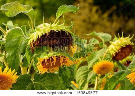 Yellow sunflowers at sunset. Downcast sunflowers.  Sunflower garden.
