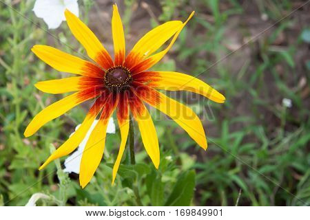 Yellow coneflower or rudbeckia flowers in a garden