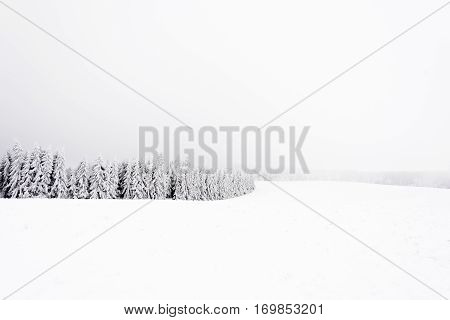 Frosted and snowy coniferous forest edge. Winter time