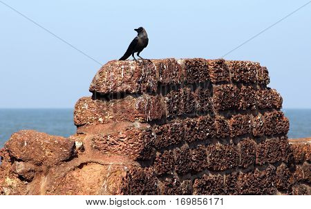 Crow on the ancient stone wall of Aguada Fort Goa India