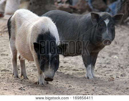 Black And White Indian Pigs In The Yard, Goa