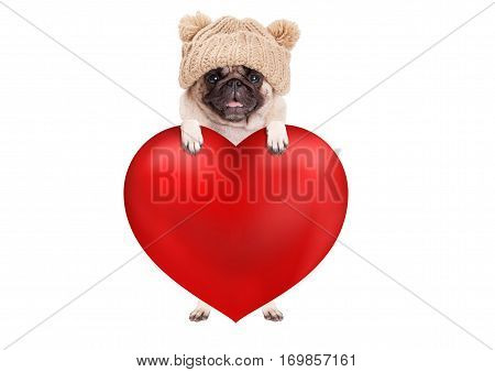 lovely cute pug puppy dog hanging with paws on big valentine's day heart isolated on white background
