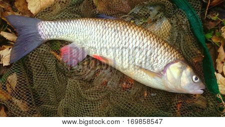 Catch of fish. Big European Chub (Squalius cephalus) on fishing net.