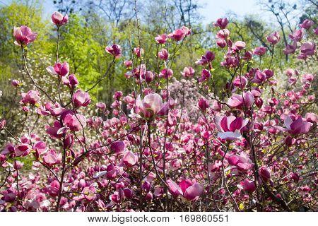 Beautiful blooming magnolia trees sense of spring.