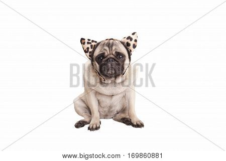 sweet pug puppy dog wearing leopard print hairband with ears, isolated on white background