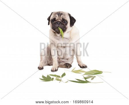 cute pug puppy dog sitting and eating Cannabis sativa weed leafs on white background