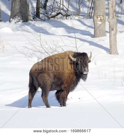 The big bison costs on a snow-covered edge of the wood