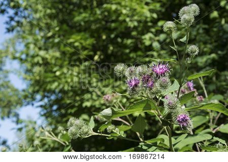 Burdock flowers in the summer in a sunny weather