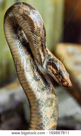 spotted python, predator, portrait of a snake
