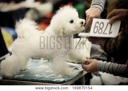 Barber cutting hair of cute white dog at show