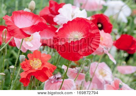 Red, white and pink Poppy flowers (Papaveraceae) growing in a garden