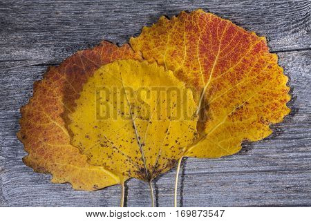 Colorful autumn, fall leaves on a wooden background. Aspen leaves in red and yellow in closeup, macro. Weathered plank, board.